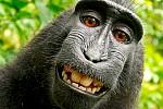 czarny makak